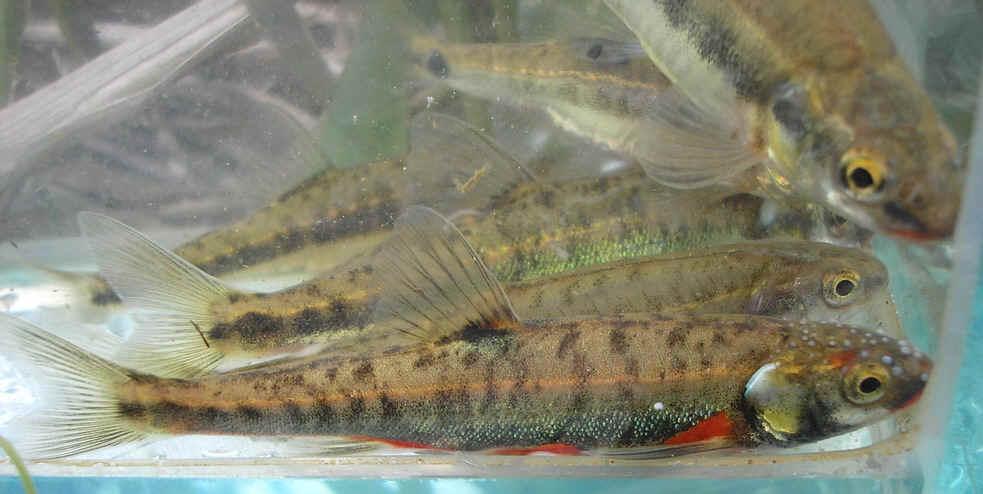 Икру и молодь лосося на рыбоводных заводах проверят специалисты Департамента ветеринарии