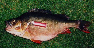 Окунь, Common Perch, Perca fluviatilis
