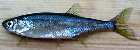 http://fish-news.teia.org/vvv.jpg